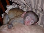 We need some one to rescue our lovely  baby capuchin monkey